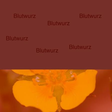 Blutwurz